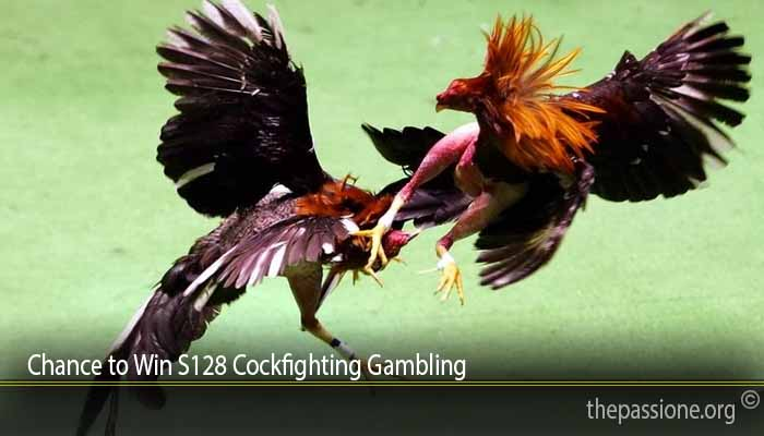 Chance to Win S128 Cockfighting Gambling
